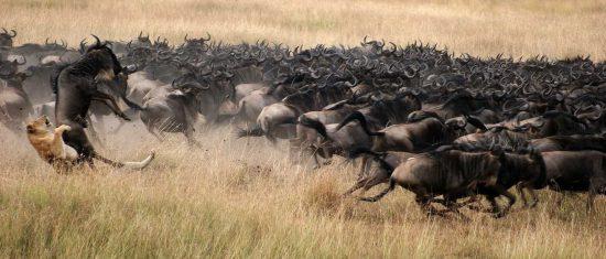 Eine Löwin greift ein Gnu aus einer großen Herde an - Szenen einer Safari in Ostafrika