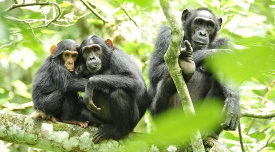 Chimpanzees in Kibale National Park