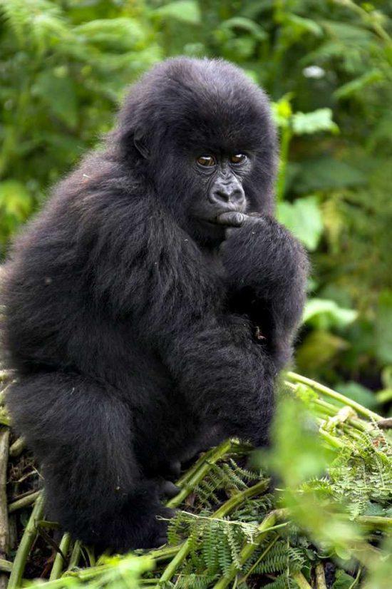 Gorilla in Bwindi National Park, Uganda