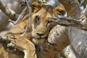 A lion rests in a tree in Queen Elizabeth National Park