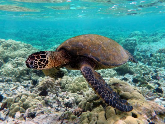 Turtle swims in clear water