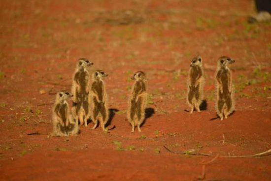 Meerkat at the Motse Tswalu