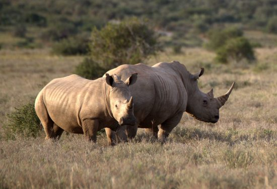 The History of Rhino Poaching in South Africa | Rhino Africa