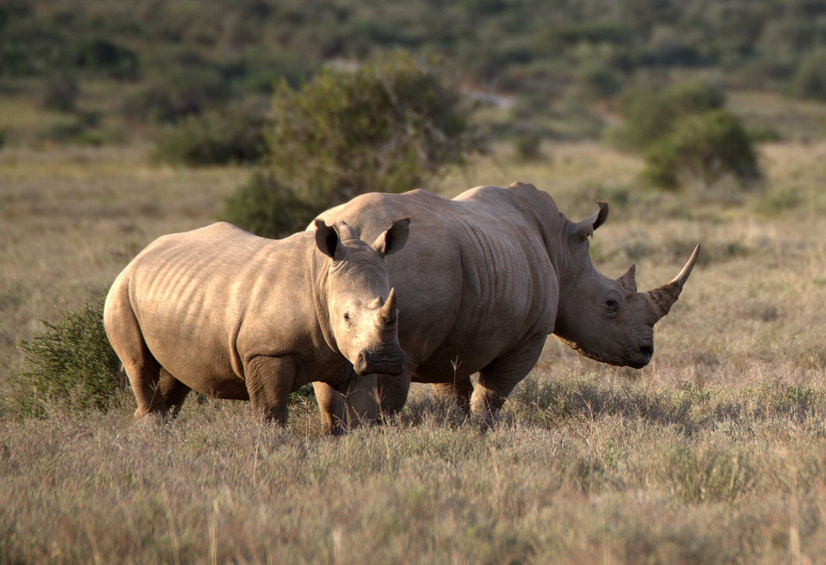 The History of Rhino Poaching in South Africa | Rhino ...