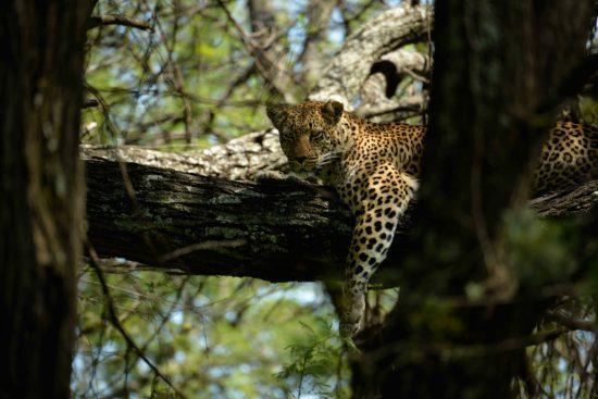 A ;leopard at Klein's Camp