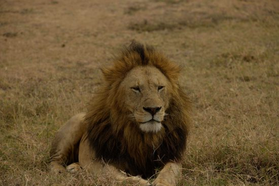 A lion at Ngorongoro Crater Lodge