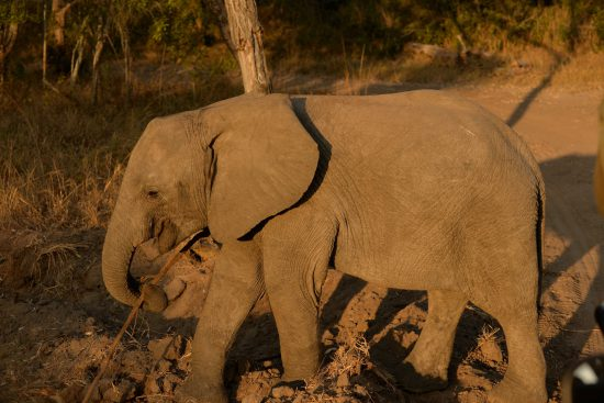 An elephant at Royal Malewane
