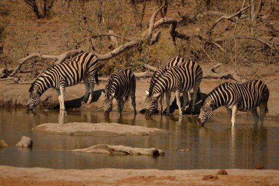 Zebras at Jamala Royal Safari Lodge