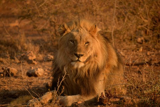 A lion at Jamala Royal Safari Lodge