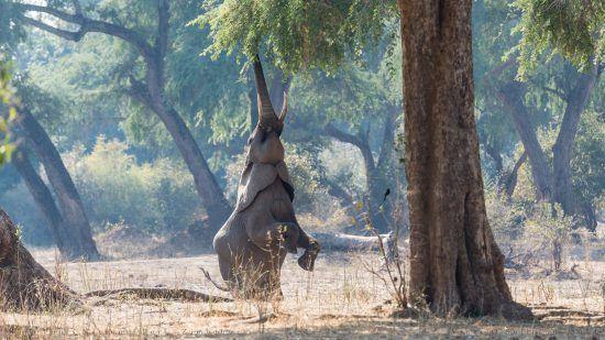 Ein Elefant steht auf den Hinterbeinen, um ans Grün in einem Baum zu gelangen