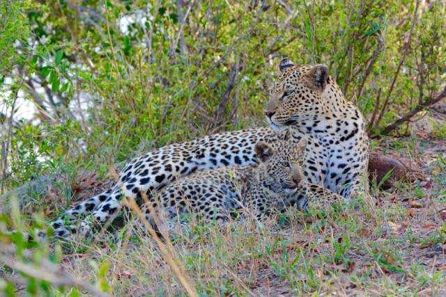Female leopard and her cub at Londolozi