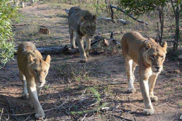 Three lionesses on the prowl in Londolozi