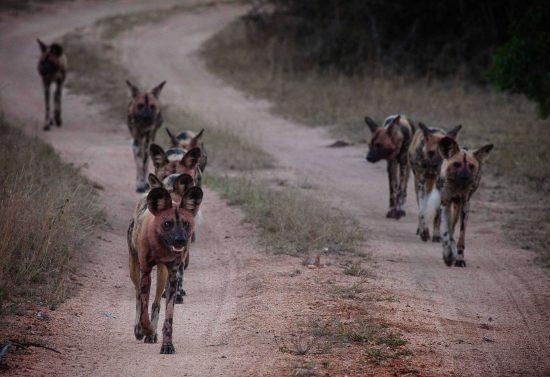 safári no botswana