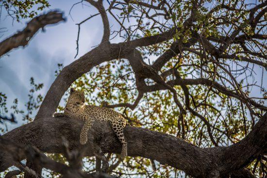 A leopard resting in a tree, Botswana