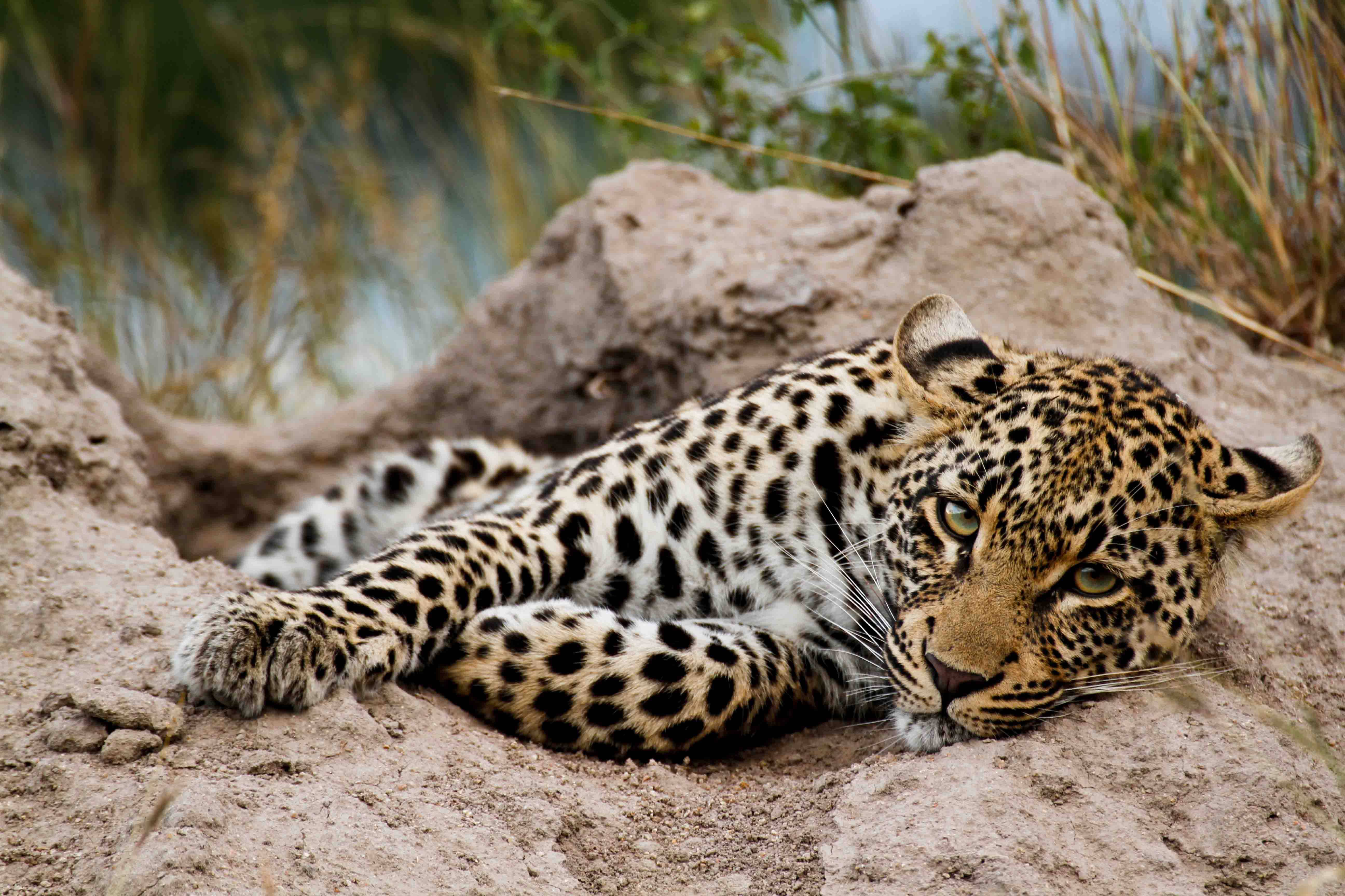 Leopard of Jao on a termite mound