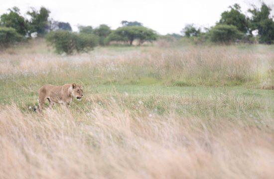 A lion stalking through long grass in Botswana