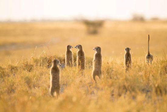 Meerkats keeping an eye out