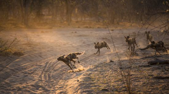 Wild dogs on the hunt in Botswana
