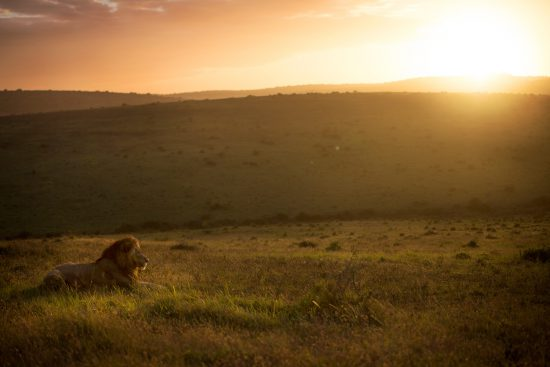 Majestic male lion sitting in the grass at sunset