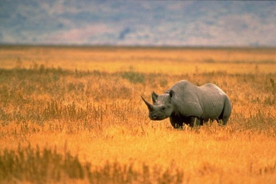 A dester-adapted Black Rhino in Namibia