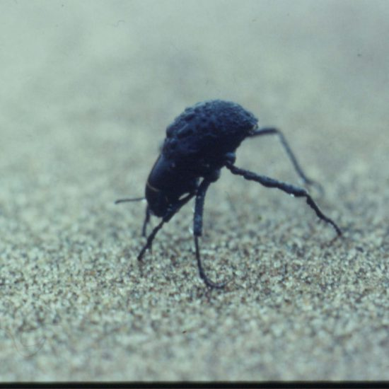 The astonishing desert-adapted Fog beetle in Namibia