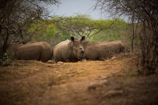 Rhinos in Zululand