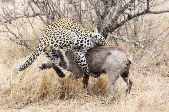 The leopard and the warthog