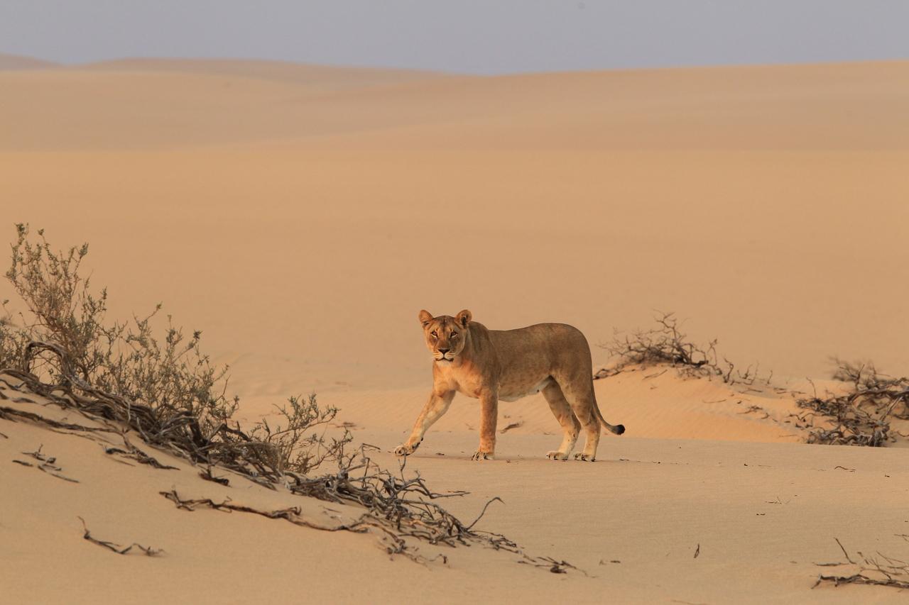 Namibia's desert lion - Flip Stander