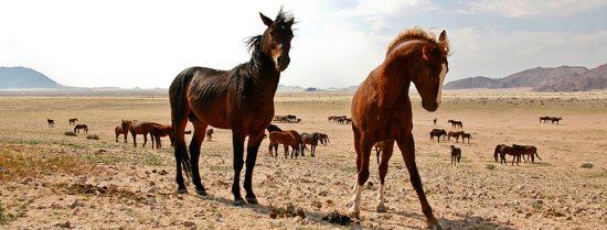 Les magnifiques chevaux sauvages de Namibie
