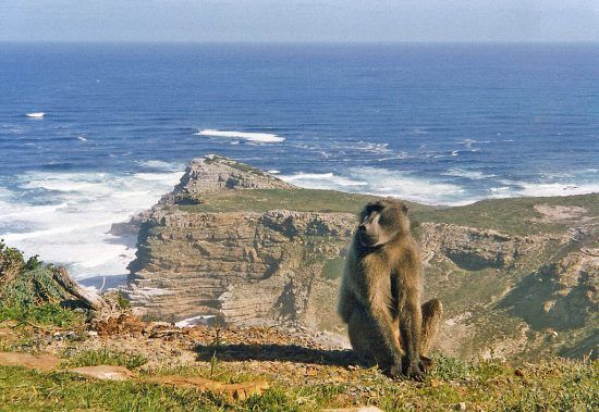 Baboons are often found in Cape Point