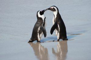 Couple de manchots du Cap, unis pour la vie