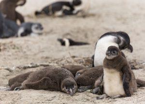 Bébés manchots du Cap proches de leur nid