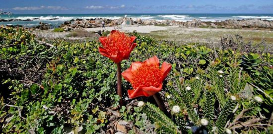 Cape Fynbos at Cape Point - One of 6 floral kingdoms
