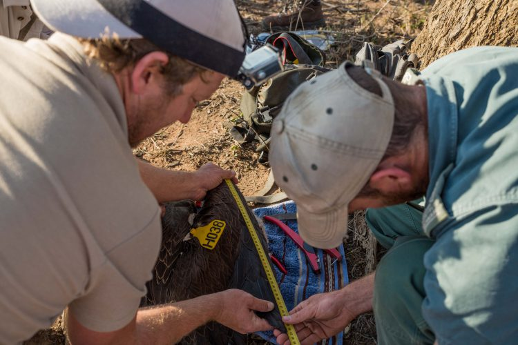 Conservationists measuring vultures for data collection
