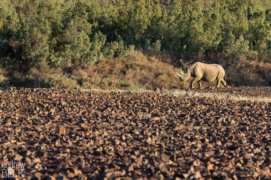 The desert adapted rhino in Namibia