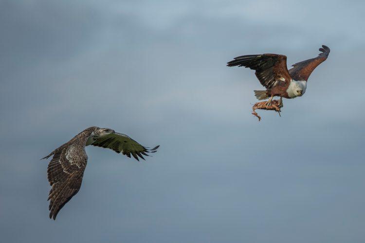 Adler mit Beute flieht vor einem anderen Greifvogel