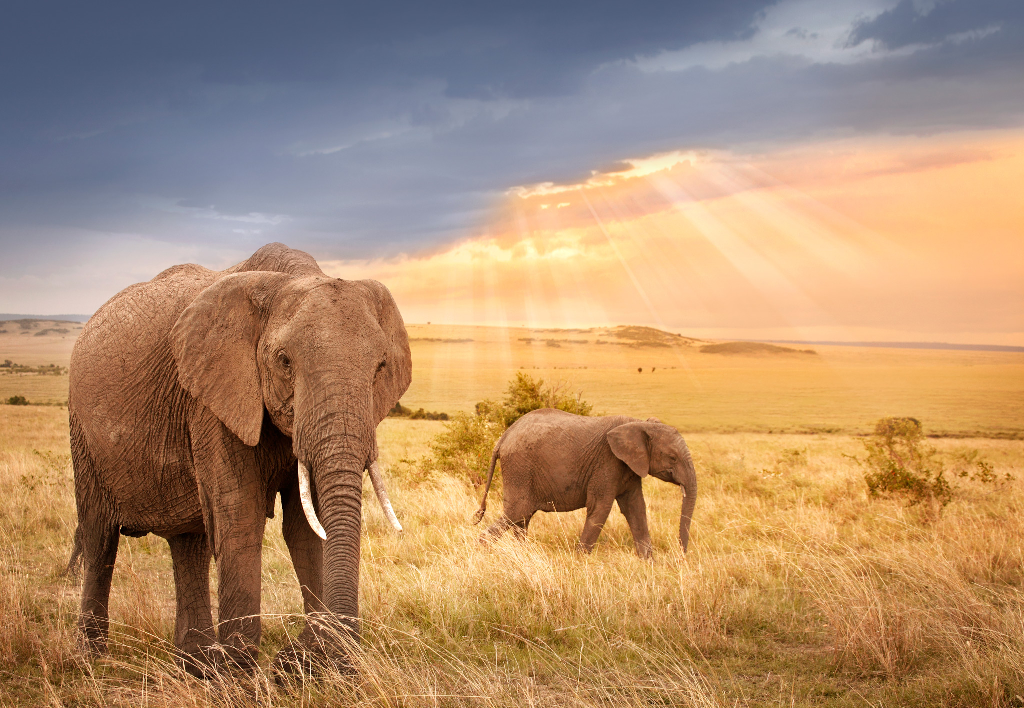 Elephants_walking_Grassland_Sunset