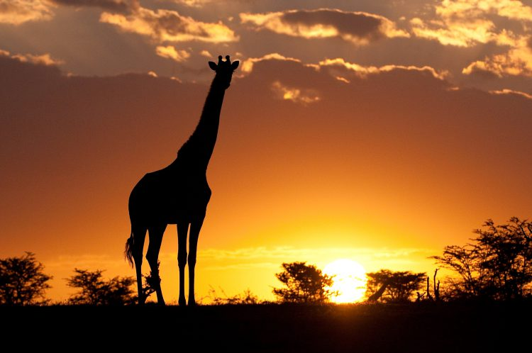Sunset showing Giraffe In Maasai Mara Kenya
