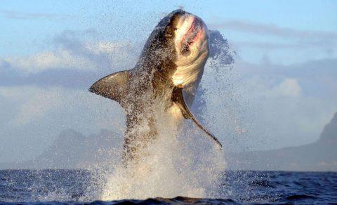 Weißer Hai springt bei Cape Point aus dem Wasser