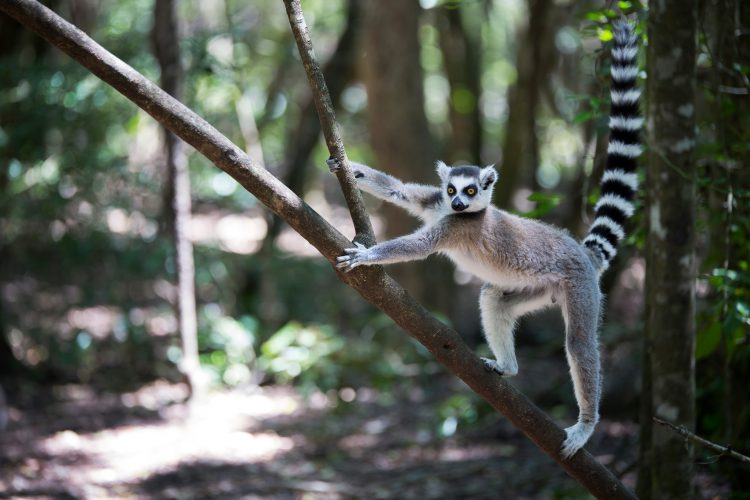 Lemur Climbing a Tree in Madagascar