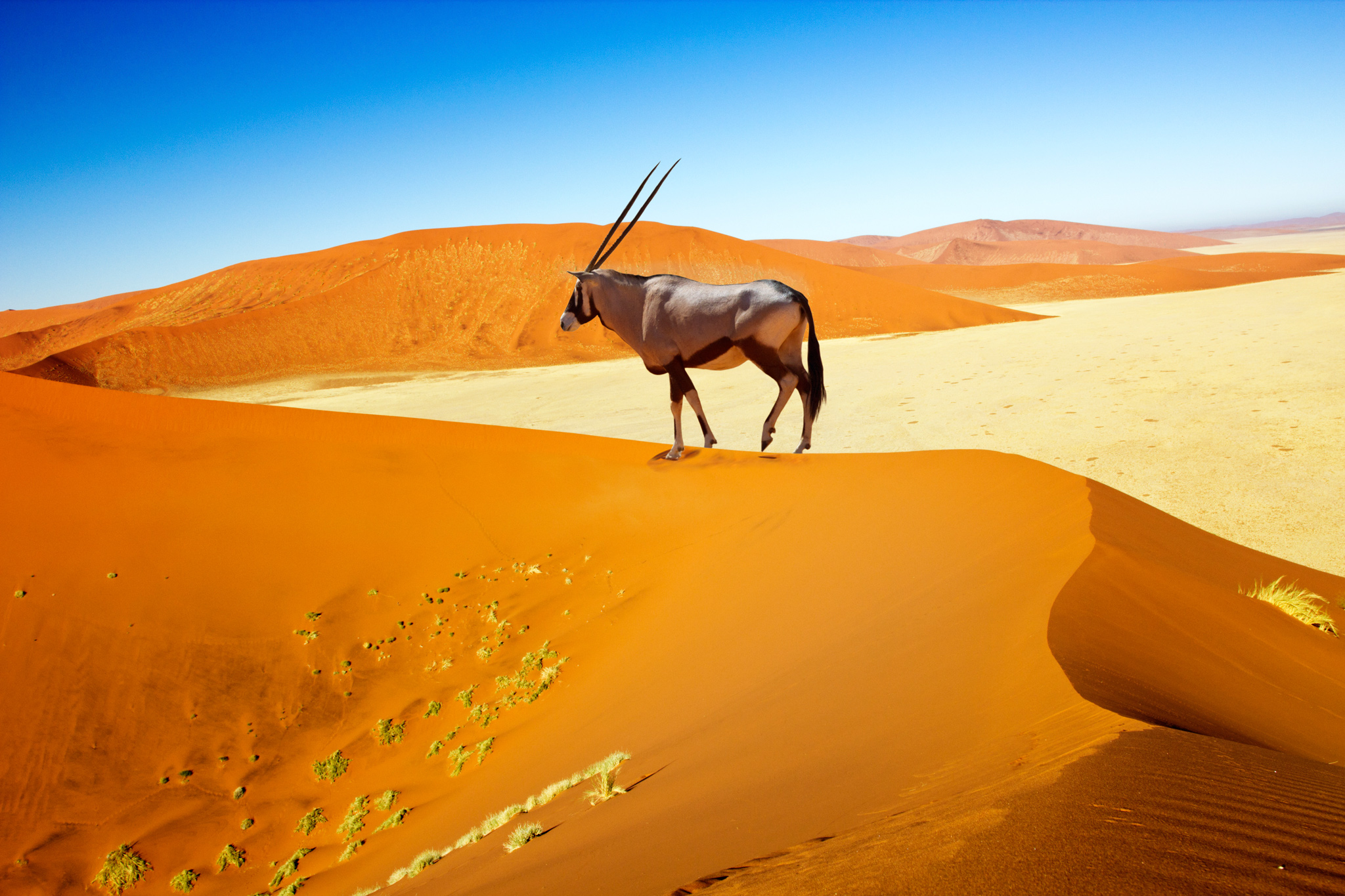 Lone_Oryx_Standing_On_Dune_Namibia