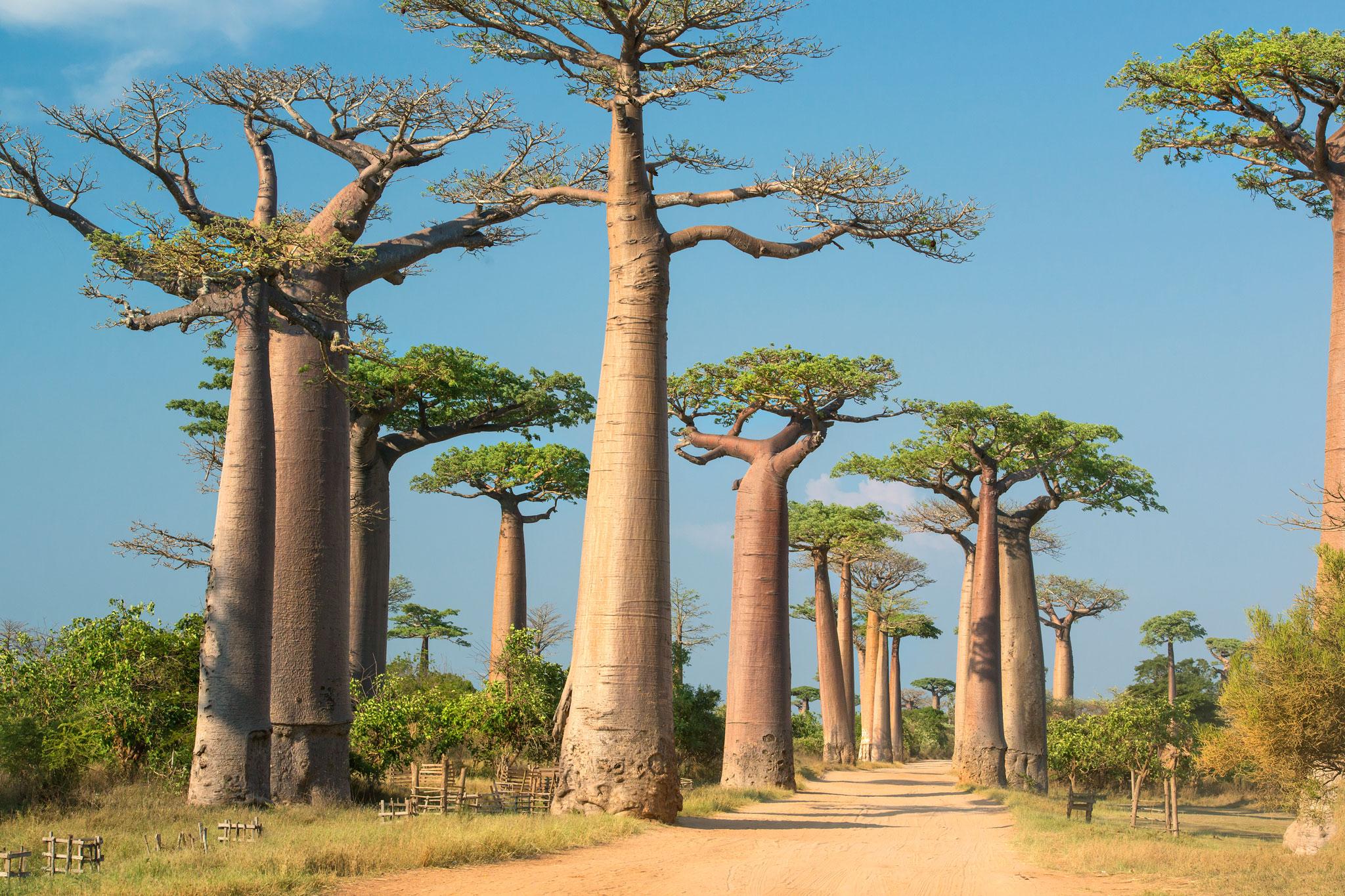 Madagascar_Baobab_Road