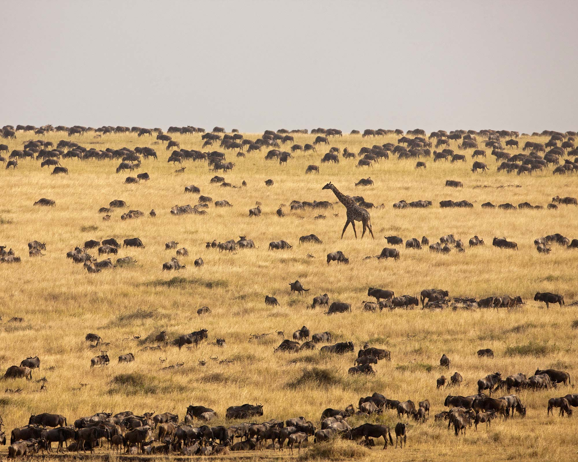 Serengeti giraffe and wildebeest