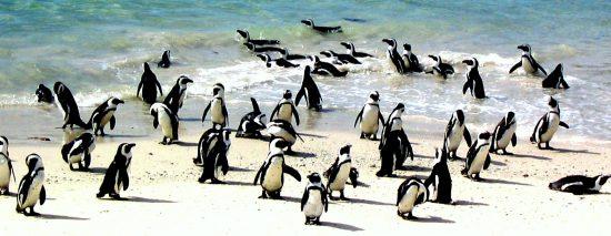 Colonia de pingüinos saliendo del agua