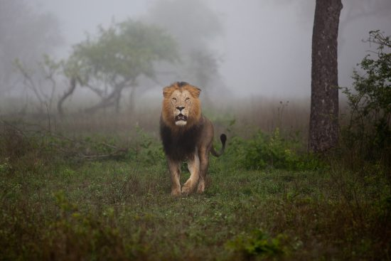 Löwe im Morgendunst in Sabi Sand