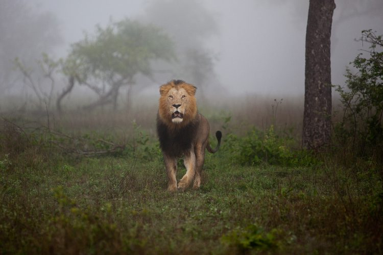 Lion on a Misty Morning in Sabi Sand