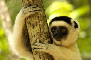 Lémuriens à Lémur dans les îles de l'océan indien