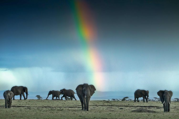 African Elephants Walking Under A Rainbow