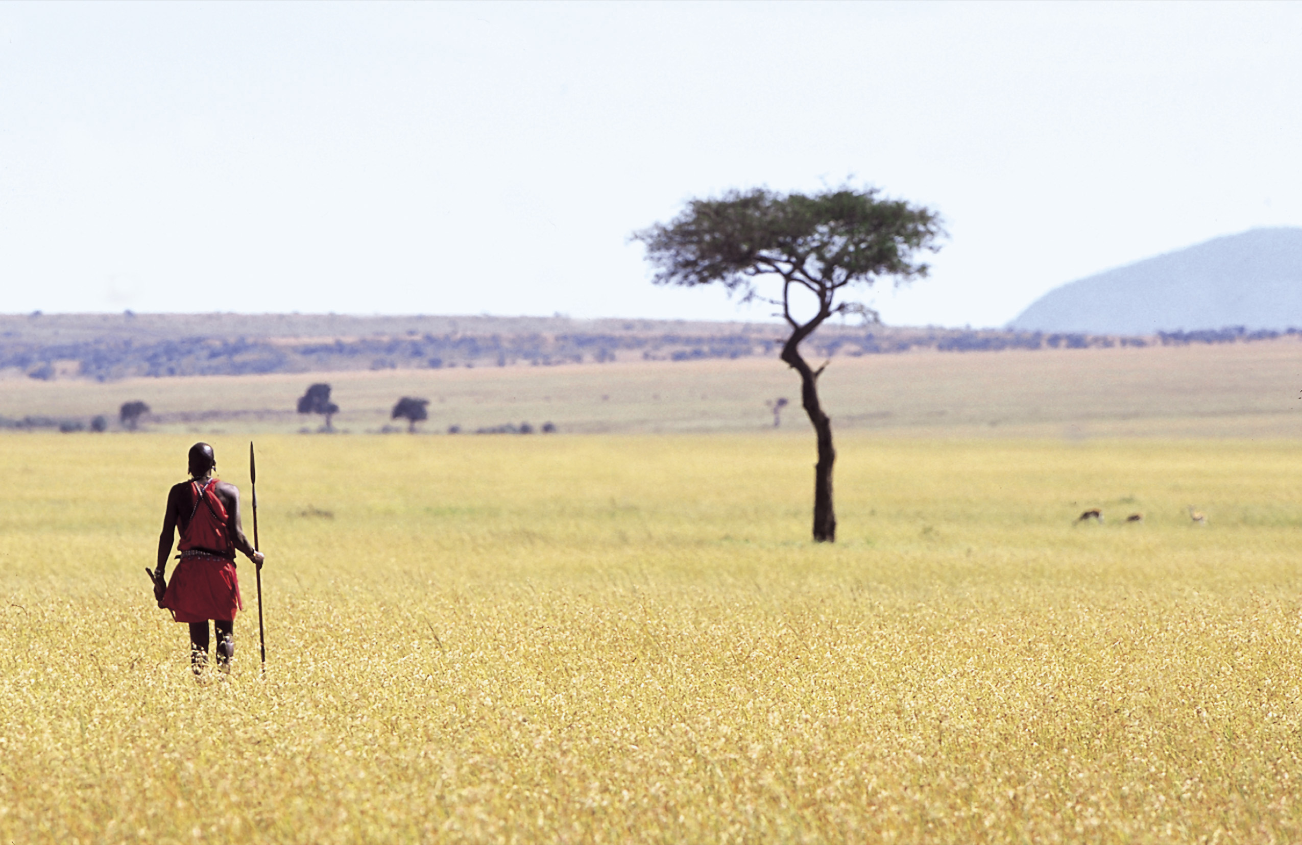 Maasai warrior walking in a field