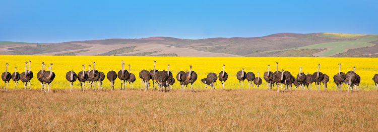 Ostriches in South Africa background of Canola